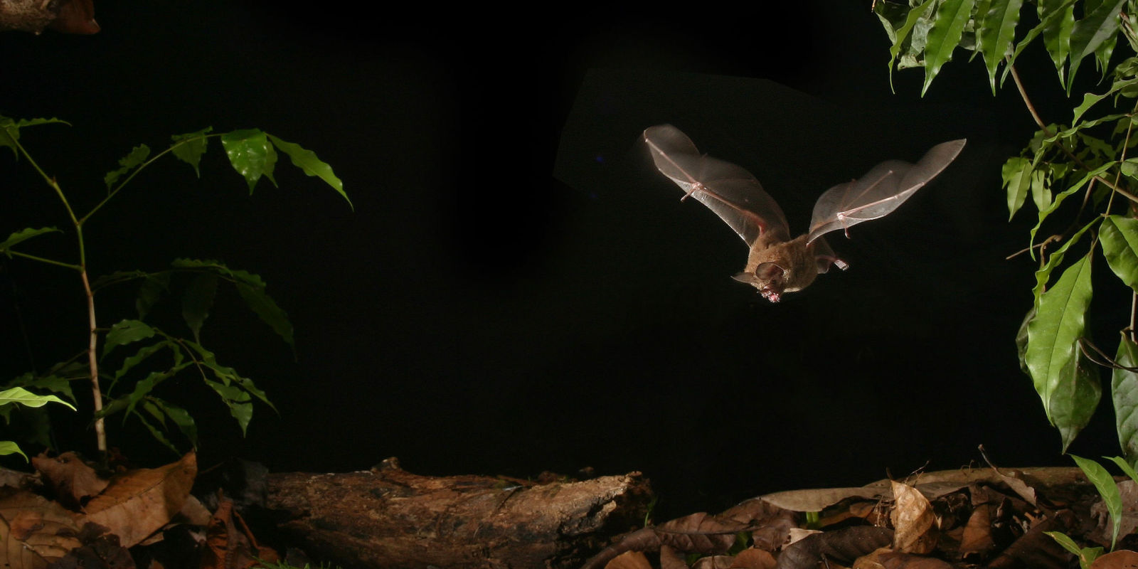 humans too loud? bats adjust image