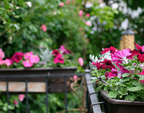 Container gardening how to start a container garden and window boxes - Growing petunias pots balconies porches ...
