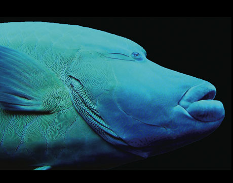 "You can't really beat the description of this creature from the Census of Marine Life: ""Exceeding two meters in length, the Napoleon Wrasse (Cheilinus undulatus) is one of the largest reef fish found in the warm waters of the Indian and Pacific oceans. The intricate blue-green design that decorates the face resembles New Zealand Maori war paint, which is the root of its alternative name, the Maori Wrasse. The designs are also unique to each individual, much like fingerprints. A protogynous hermaphrodite, this wrasse can change its sex from female to male."""