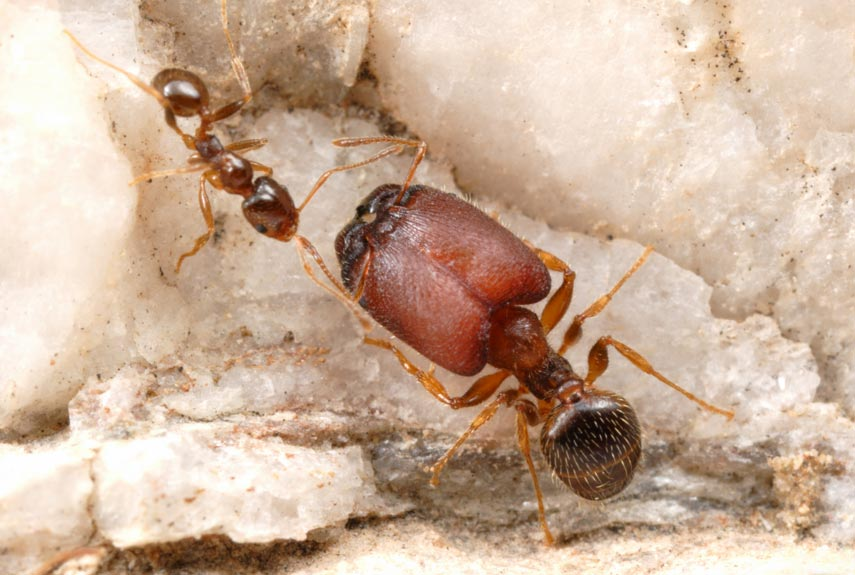 What are some ant species?
