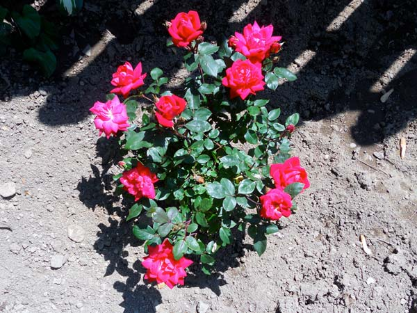 Bare Root Roses, Which Are Shipped And Sold Without Being Planted In Soil,  Should Be Soaked In A Bucket Of Water Before Theyu0027re Planted.