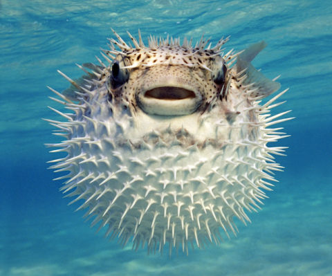 Pufferfish aren 39 t holding their breath when they puff up for Puffer fish puffing