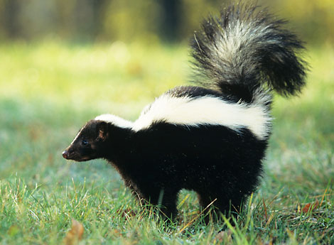 When Wild Animals Attack: An Encounter With a Rabid Skunk